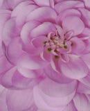 Colore rosa sexy Fotografie Stock
