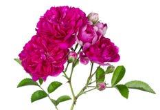 Colore rosa su bianco Immagine Stock Libera da Diritti