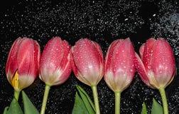 Colore rosa Tulipani Fiori riflessione Acqua Gocce Macro immagini stock libere da diritti
