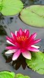 Colore rosa waterlily Immagine Stock Libera da Diritti