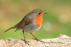 Colore rosso Brest di Robin. Fotografia Stock
