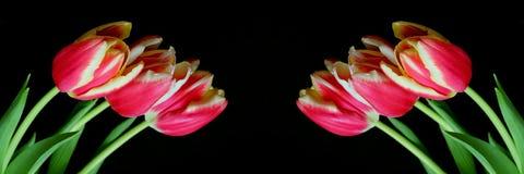 Colore rosso con i tulipani gialli Fotografia Stock Libera da Diritti