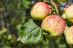 Colore rosso con le mele gialle Immagine Stock
