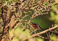 Colore rosso cremisi Shrike breasted Fotografie Stock Libere da Diritti