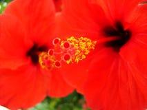 Colore rosso del fiore Fotografie Stock Libere da Diritti