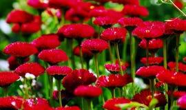 colore rosso del fiore Immagini Stock