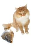 colore rosso del gatto della carpa Fotografia Stock Libera da Diritti