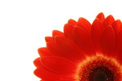 Colore rosso del Gerbera isolato su bianco Fotografia Stock Libera da Diritti