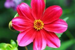 Colore rosso del giardino di fiore un bello Fotografie Stock
