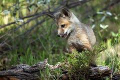 colore rosso del pup della volpe Fotografie Stock Libere da Diritti