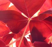 colore rosso del trifoglio fotografie stock