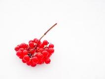 Colore rosso del Viburnum Fotografia Stock Libera da Diritti