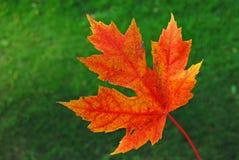 colore rosso dell'acero del foglio di autunno Immagine Stock Libera da Diritti
