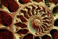 Colore rosso dell'ammonite, macro Fotografie Stock