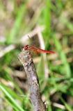 colore rosso della libellula fotografie stock libere da diritti