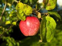 colore rosso della mela Fotografia Stock Libera da Diritti