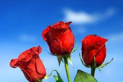 Colore rosso della Rosa Fotografia Stock