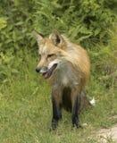 colore rosso della volpe Fotografia Stock