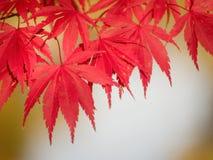 Colore rosso di autunno Immagini Stock Libere da Diritti