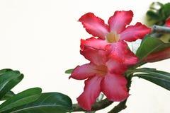 Colore rosso di Plumeria su priorità bassa bianca Fotografia Stock