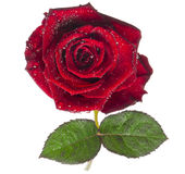 Colore rosso di rosa, fiore isolato su bianco con le gocce Fotografie Stock