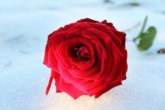 Colore rosso di Rosa sul pavimento del ghiaccio in giardino immagine stock libera da diritti