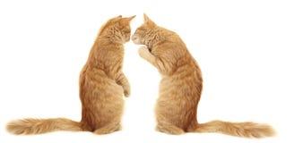 Colore rosso divertente del gattino Fotografia Stock Libera da Diritti
