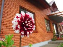 Colore rosso e bianco della dalia Fotografie Stock Libere da Diritti