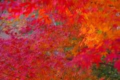 Colore rosso e fogli dell'arancio nella caduta Immagini Stock