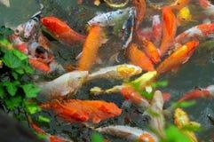 Colore rosso e pesci dell'oro Immagini Stock Libere da Diritti
