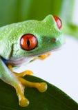 Colore rosso eyed Fotografia Stock