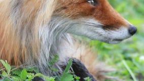 colore rosso fotografato nordico del Minnesota della volpe vicina in su video d archivio
