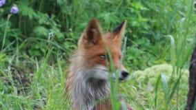 colore rosso fotografato nordico del Minnesota della volpe vicina in su Fotografie Stock Libere da Diritti
