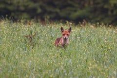 colore rosso giovanile della volpe Fotografie Stock