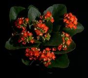 Colore rosso Kalanchoe del fiore Fotografia Stock