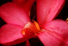 Colore rosso lilly Immagini Stock Libere da Diritti