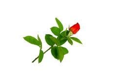 Colore rosso lungo Rosa del gambo Fotografia Stock