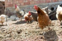 Colore rosso, pollo dell'azienda agricola che cerca alimento Immagine Stock Libera da Diritti