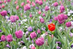 Colore rosso in tulipani viola - quello solo Immagine Stock