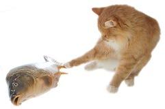 colore rosso vivo del gatto della carpa ancora Fotografia Stock Libera da Diritti