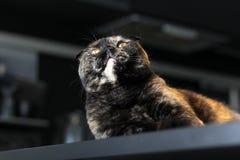 Colore scozzese della tartaruga del gatto che si siede sulla tavola Foto nei colori scuri Il gatto osserva in su fotografie stock libere da diritti