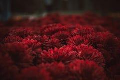 Colore scuro di Borgogna del crisantemo di autunno fotografie stock libere da diritti