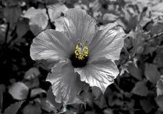 Colore selettivo della fioritura dell'ibisco Fotografie Stock