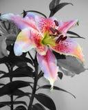 Colore selettivo di disegno floreale dell'invito del giglio Fotografia Stock