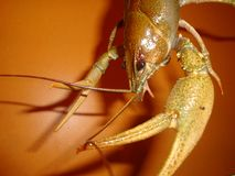 Colore verdastro naturale del cancro del fiume occhi mobili, antenne lunghe e cavità orale con i processi supplementari fotografia stock libera da diritti