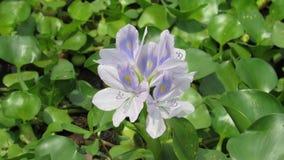 colore verde bianco porpora blu della pianta acquatica selvatica del fiore del giacinto Fotografie Stock Libere da Diritti
