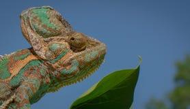Colore verde della natura della presa del cammuffamento del camaleonte Fotografia Stock