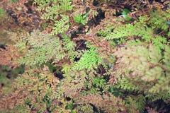 Colore verde e marrone della foglia della felce Immagini Stock