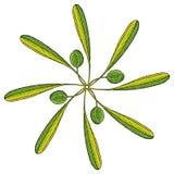 Colore verde oliva della rosetta Fotografia Stock