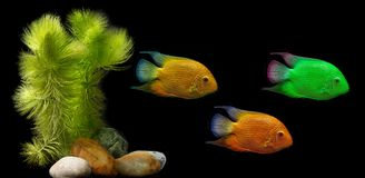 Colored aquarien fish Stock Image